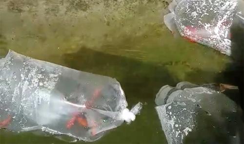 Pesci rossi parco montalbano for Quanto vivono i pesci rossi