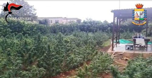 marijuana coltivazione